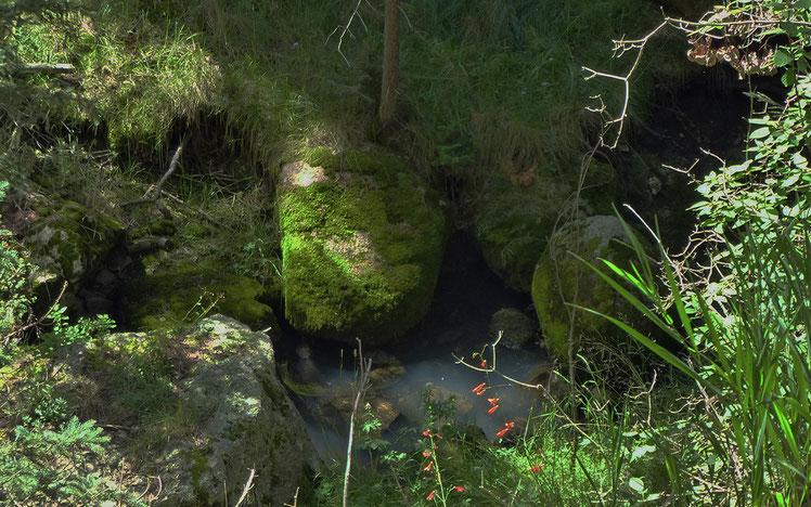 Moss, scarlet bugler, Penstamon, Valle Seco, Valles Caldera, Jemez Mountains, New Mexico