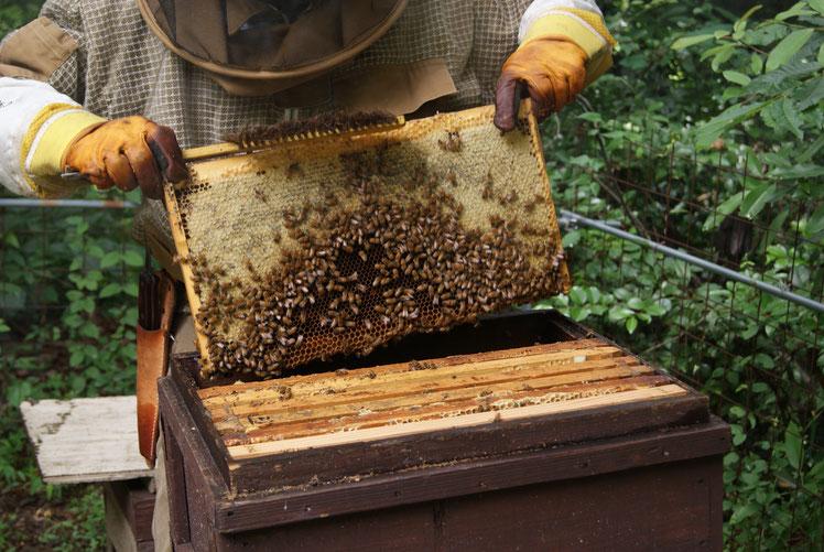 西洋蜜蜂と交配蜂