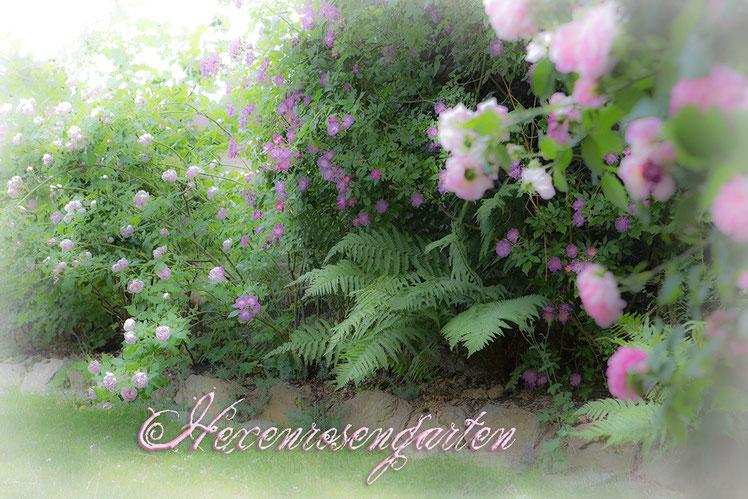 Rosen Hexenrosengarten Province Panachee Veilchenblau Ispahan