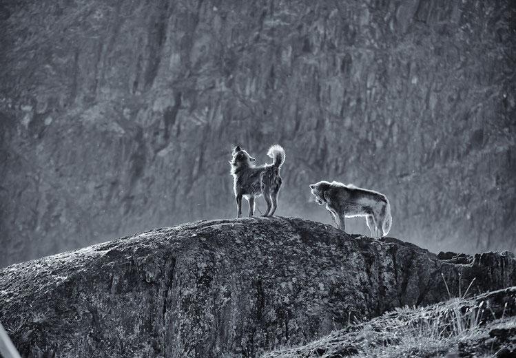 Foto: Hans G. Lehmann - Grönland Hunde