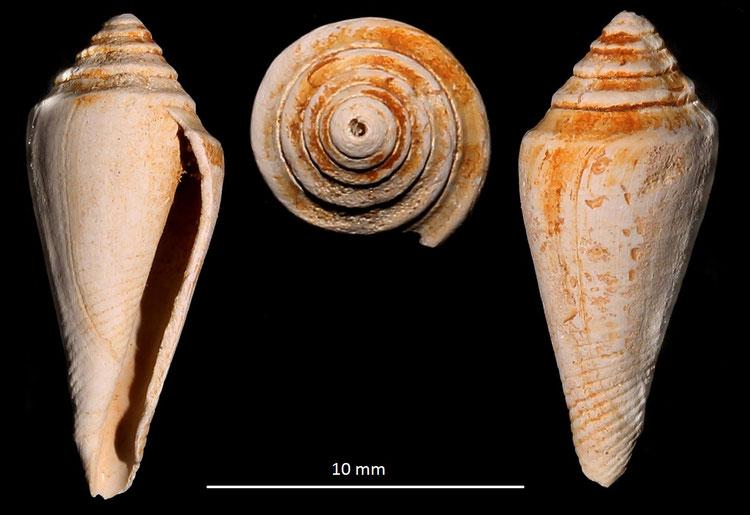 Conus dujardini, Miocene dell'Aquitania