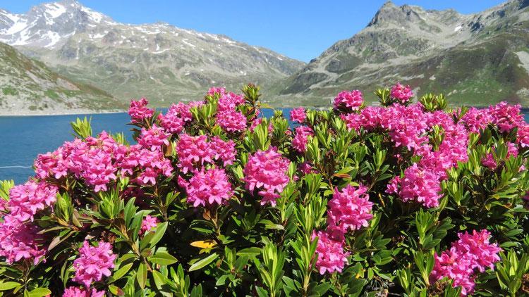 Beim kleinen Dorf Madesimo am Splügen-Pass kann man im Sommer eine umwerfende Alpenrosen-Blüte bestaunen.