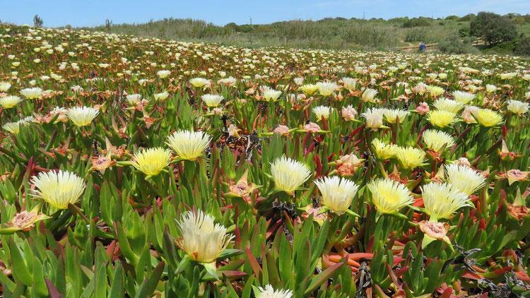Wie ein Blütenteppich breitet sich diese essbare Mittagsblume aus. Sie verträgt den kargen, trockenen Boden und speichert Feuchtigkeit in den dickfleischigen Blättern.