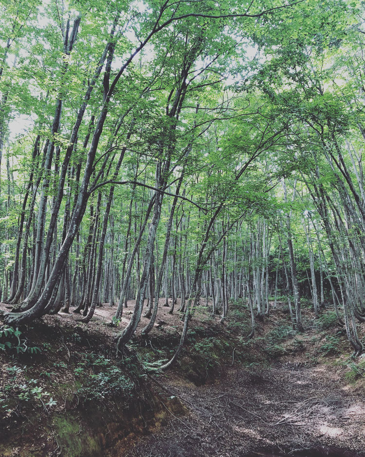 新潟県 十日町市 自然 森 ブナ林 ブナ