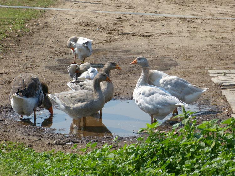 Hier sind die Gänse an einer Wasserpfütze, während sich die Junggänse an den Bottichen aufhalten. Wir bemühen uns auf dem Ökohof Fläming um das bestmögliche Tierwohl für unsere Tiere.