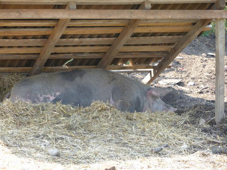 Der Schweineunterstand spendet Schatten und schützt so vor Sonnenbrand und Überhitzung.