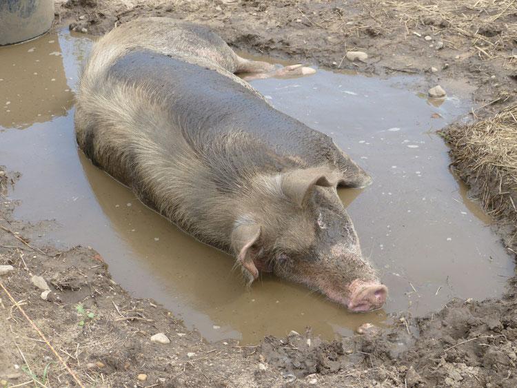 Die Suhle für die Schweine tut ihre Dienste. Lotta genießt das kühle Wasser und den Schlamm auf der Haut.