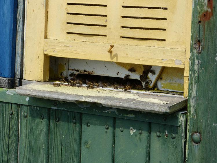 Am Flugloch der Beuten im Bienenwagen sitzen viele Bienen und fächeln Luft. Die Abkühlung benötigen sie dringend, um die Bruttemperatur nicht zu überschreiten.