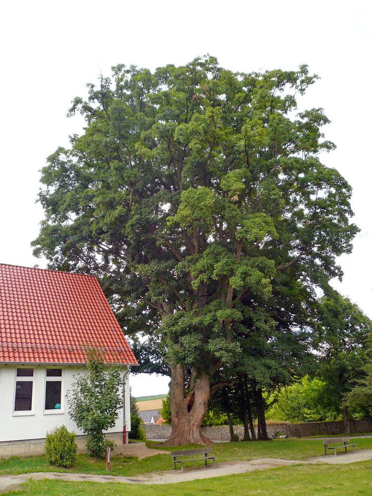 Bergahorn beim Kloster Gehrden in Gehrden