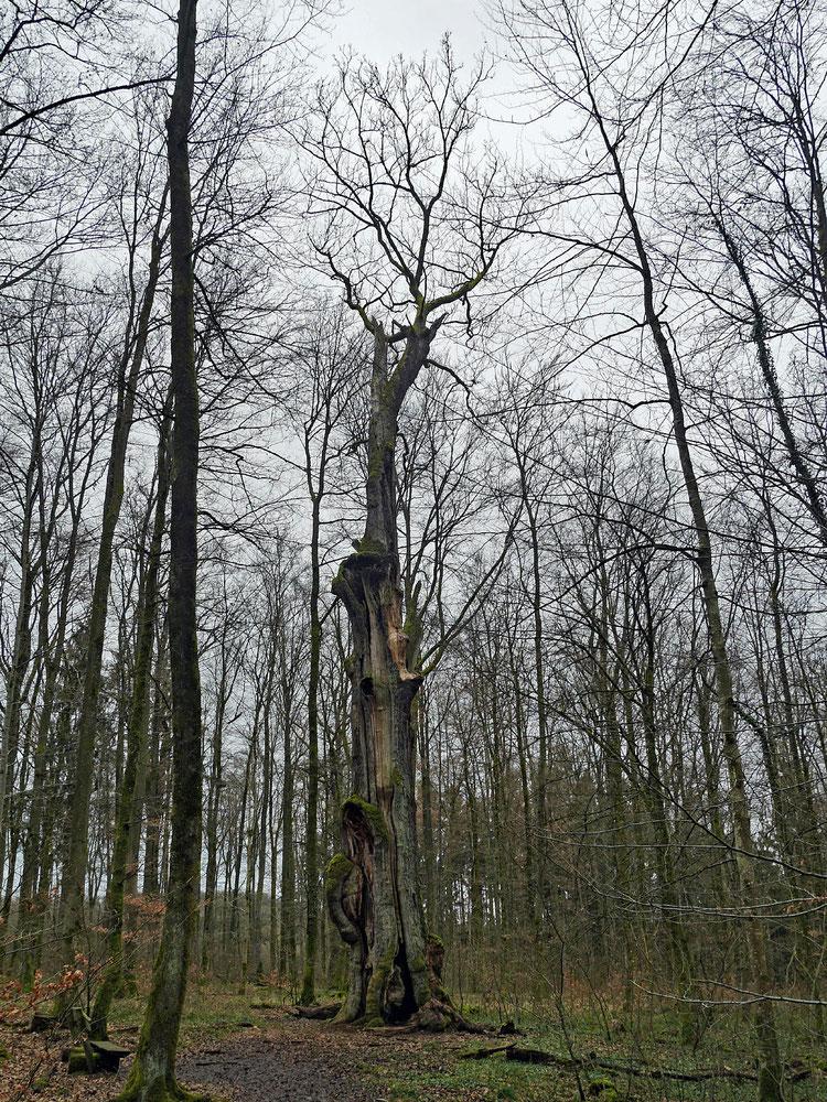 Große Eiche bei Brombach, Umfang, Brusthöhenumfang, Stieleiche, Eiche, Naturdenkmal