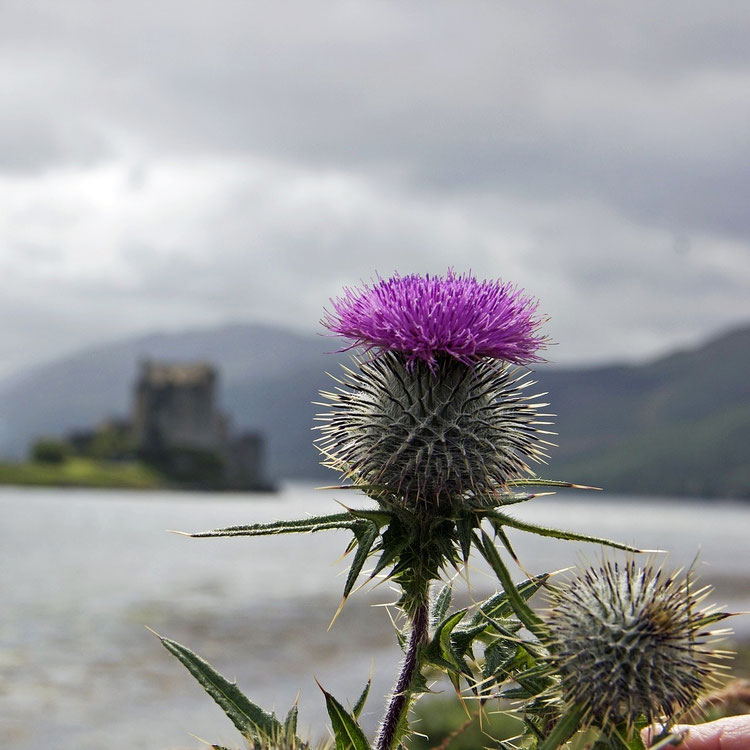 thistle flower of scotland