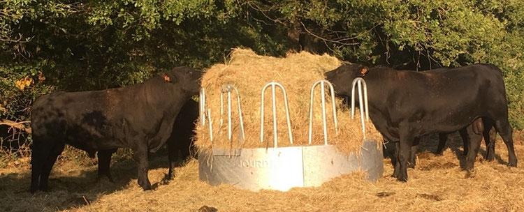 taureaux aberdeen angus de l'élevage de la ferme de neuvy dans le cher destinés à la vente directe