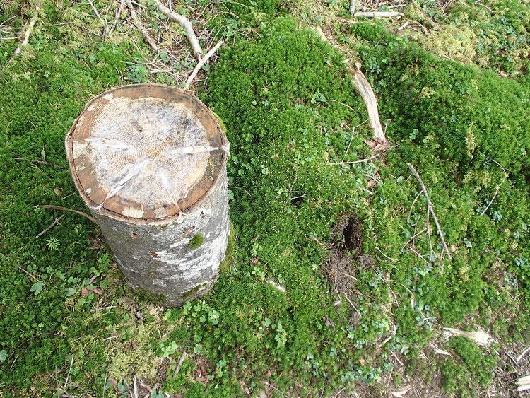 シラビソの丸太と苔