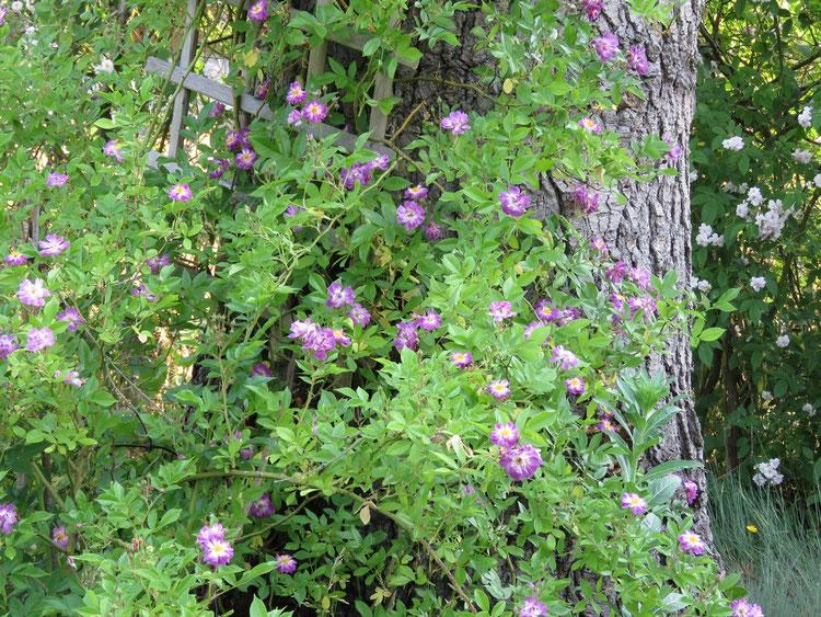 """Ramblerrosen """"Veilchenblau"""" (vorne) und """"Paul's Himalayan Musk"""" (hinten)"""
