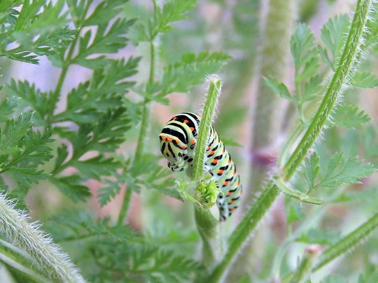 Wie man dem Schwalbenschwanz am Besten hilft: Schwalbenschwanz-Raupe (Papilio machaon) an Wilder Möhre (Daucus carota)