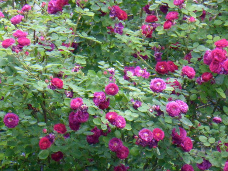 Anschauungsbeispiel Rosenstrauch