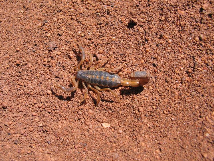 Parabuthus granulatus