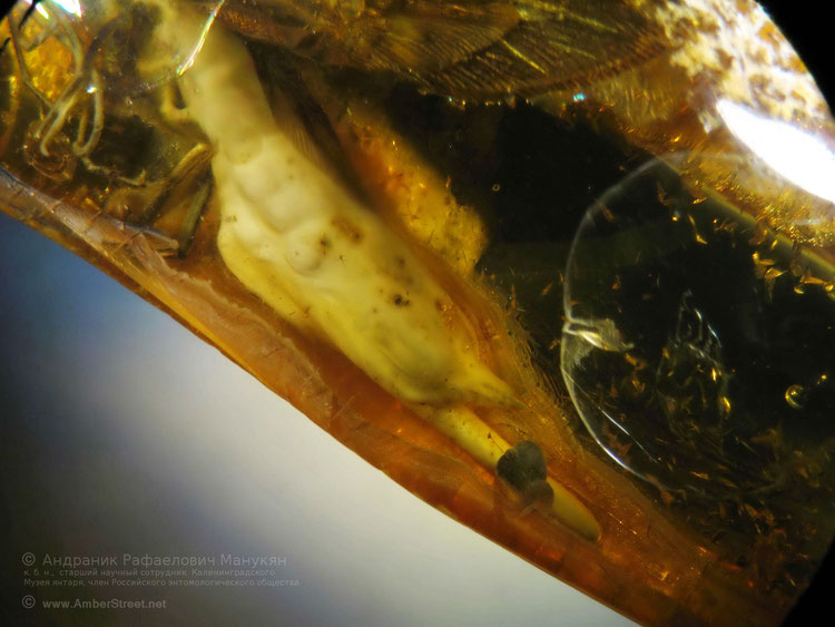 Inclusion in amber: Hymenoptera Siricidae