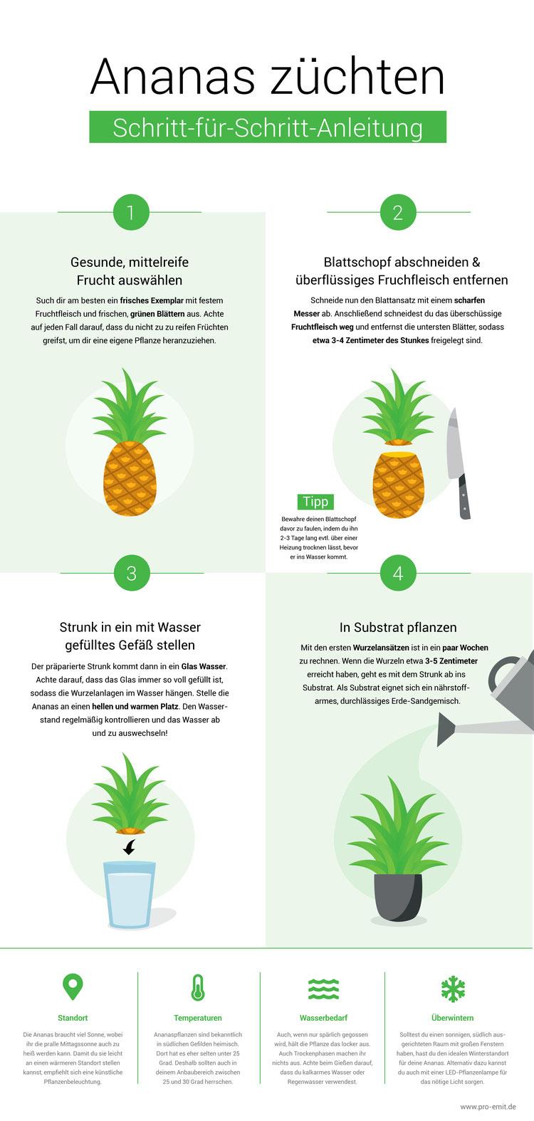 Ananas züchten Infografik