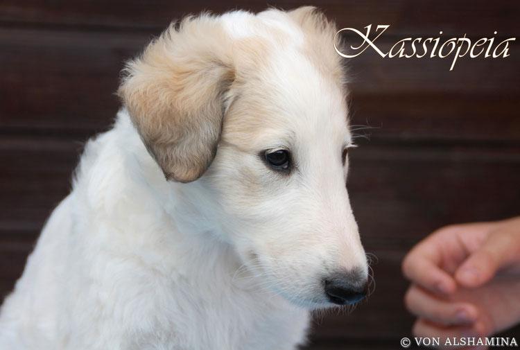 Scottish Deerhound & Barsoi...zwei Windhundrasse in einer wundervollen Kombination! Von Alshamina-Barsoi & Deerhound Zuchtstätte in Europa/Deutschland! Nadja Koschwitz züchtet seit 19 Jahren diese beiden Windhundrassen!