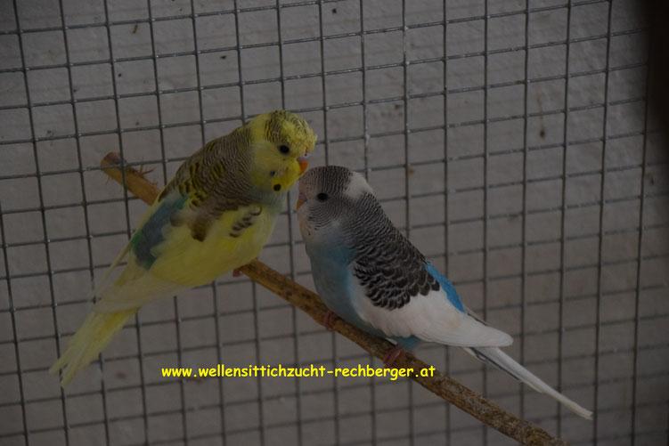 links 0.1 A-Schecke dunkelblau EGG, rechts 1.0 A-Schecke dunkelblau