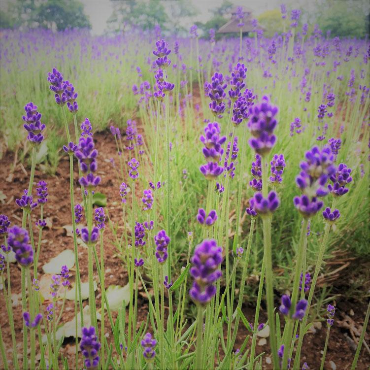 Lavender Field in Furano, Hokkaido 北海道富良野のラベンダー園