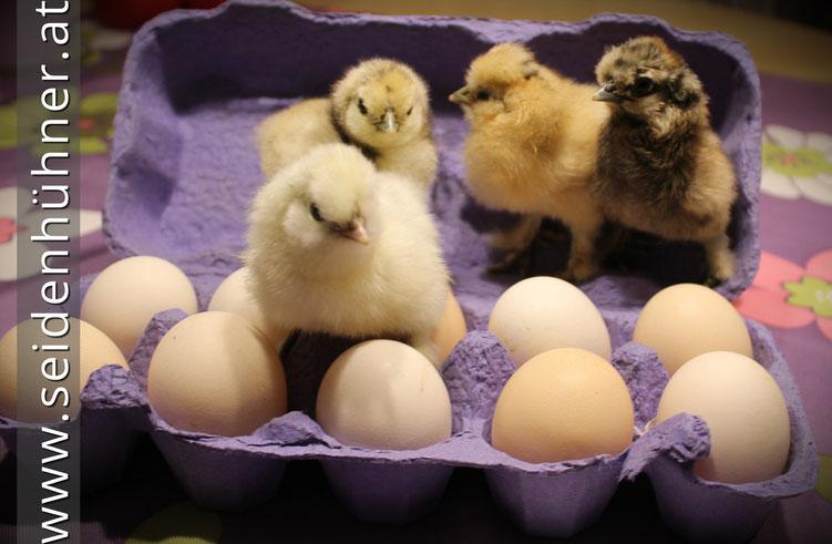 Bruteier Hühner Seidenhühner