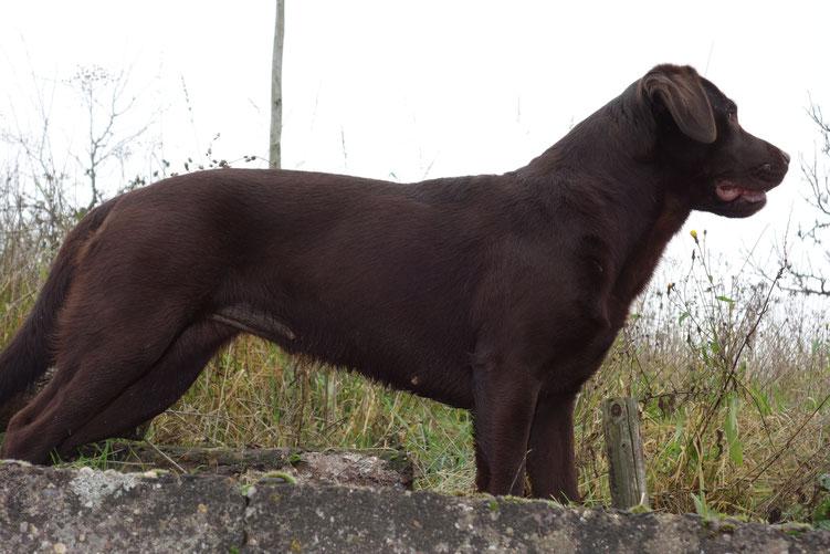 braune Labrador Retriever Hündin steht auf einer Mauer