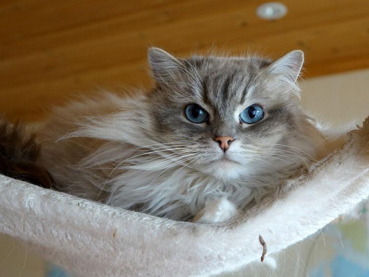 Diese Schönheit ist eine Sibirische Waldkatze