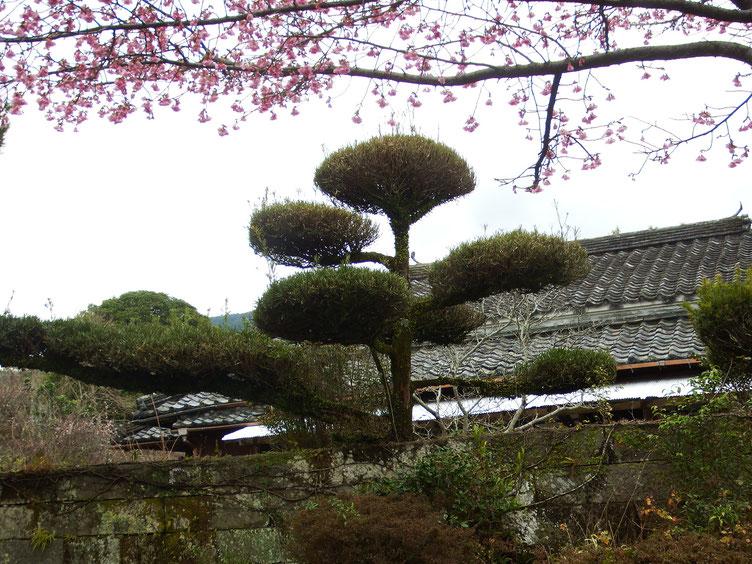 車止めからお店を望む  カンヒザクラガが見頃、りっぱな石積みと見事な庭樹