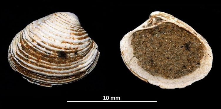 Circomphalus foliaceolamellosus, Sasso Marconi (BO)