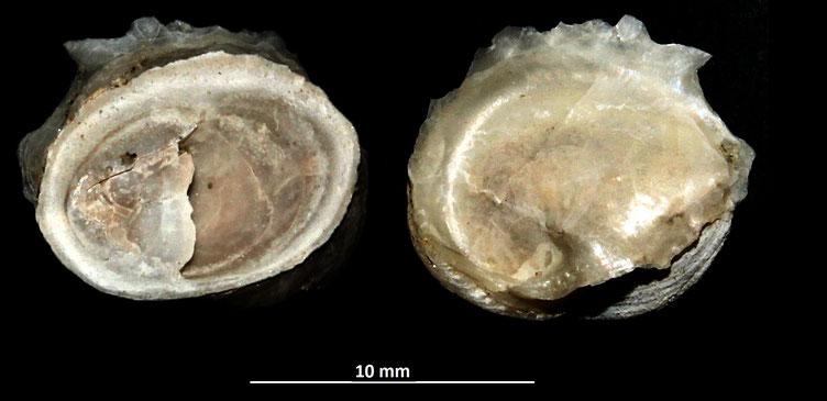 Crepidula moulinsii, Vignola (MO)