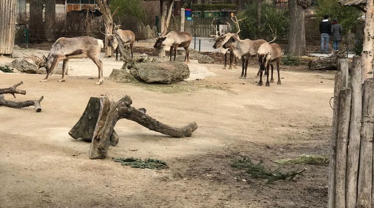 シェーンブルン動物園でトナカイを見た
