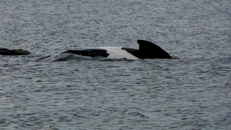 Un baleineau nage aux côtés de sa mère