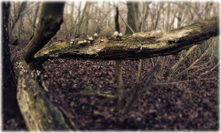 Eine Pilzkolonie auf Totholz