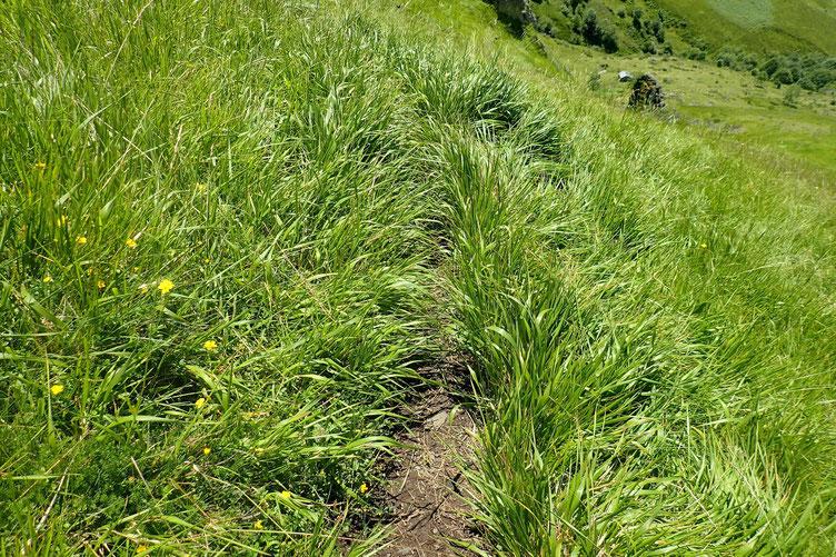 Le sentier dissimulé par les herbes.