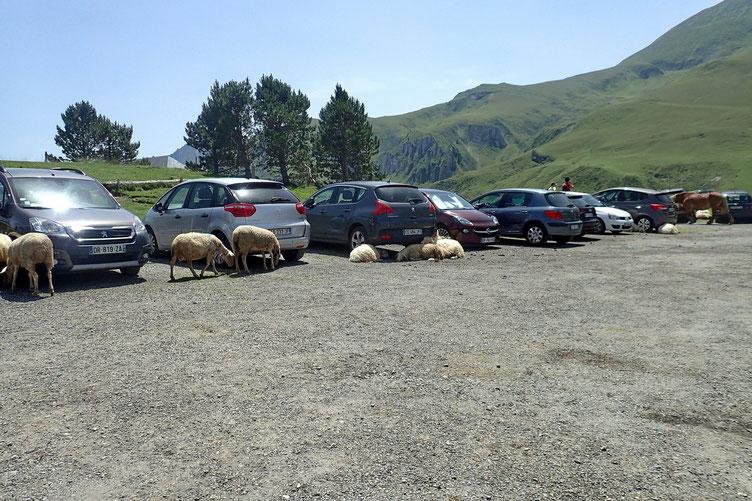 Où il y a beaucoup de voitures. Les moutons en profitent pour se mettre à l'ombre.