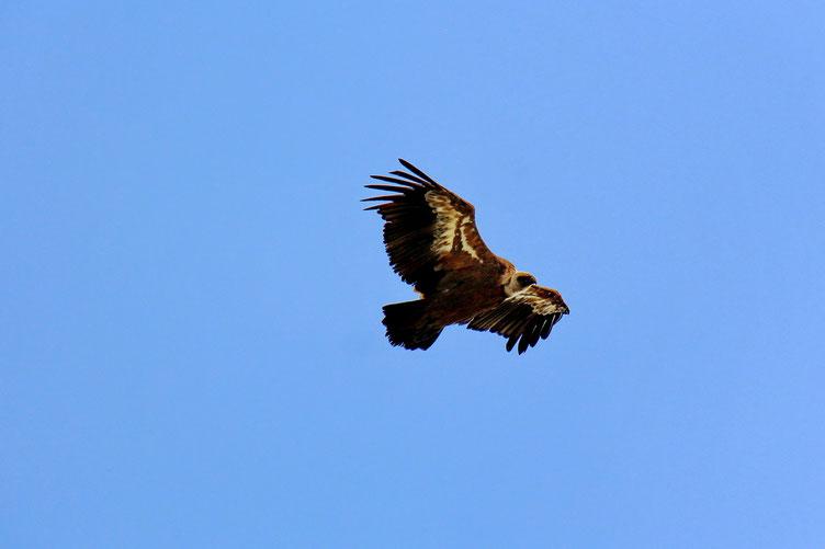 Beaucoup de vautours dans le secteur.