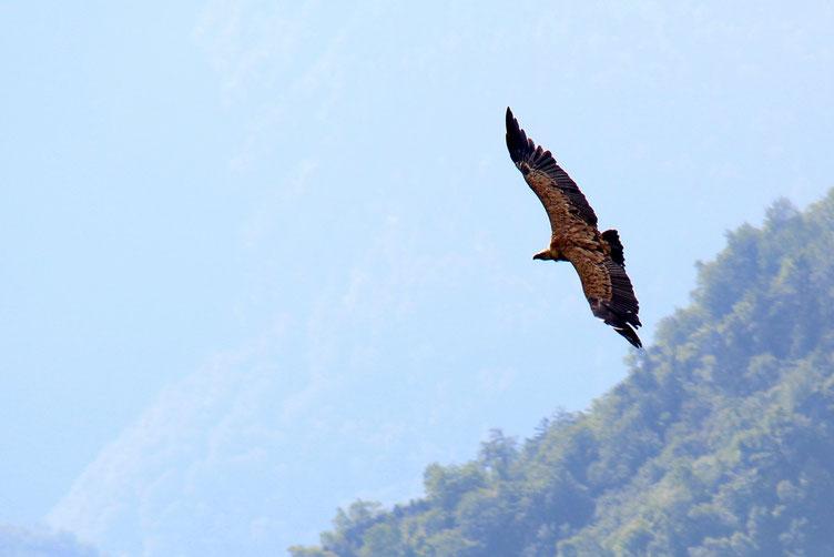Pas de battement d'ailes. Ils montent et descendent au gré des courants chauds.