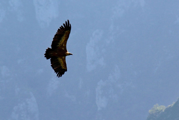 Toujours fascinants ces vautours...