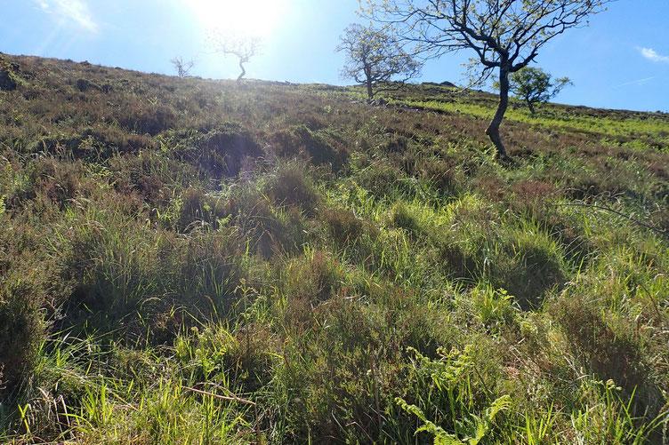 Je monte vers la crête. Ce sera plus facile de cheminer qu'au milieu de la végétation faite de fougères, de buis, de ronces...