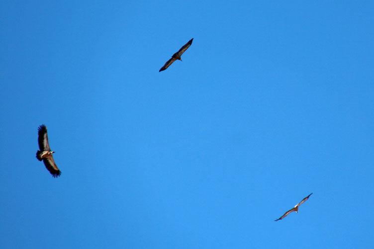 Quelques vautours attendent... et espèrent...