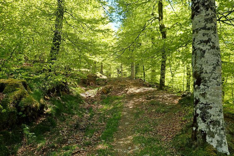 Puis remontée à travers bois vers les Chalets d'Iraty.