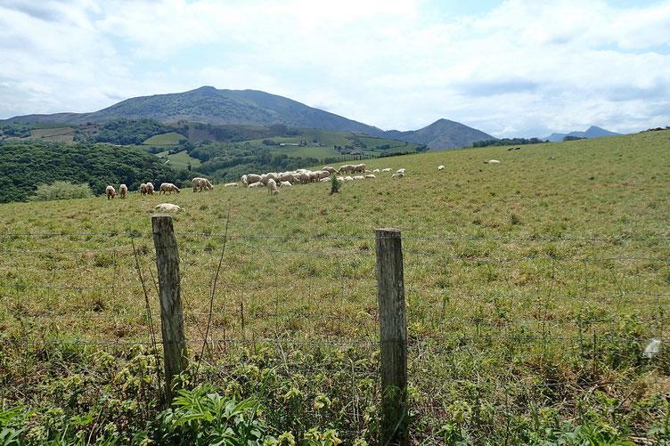 Quelques moutons tondus.