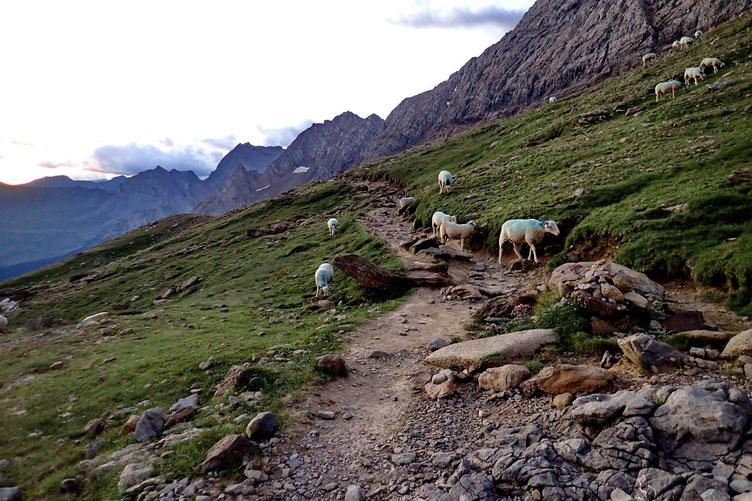 Les moutons déjeunent.