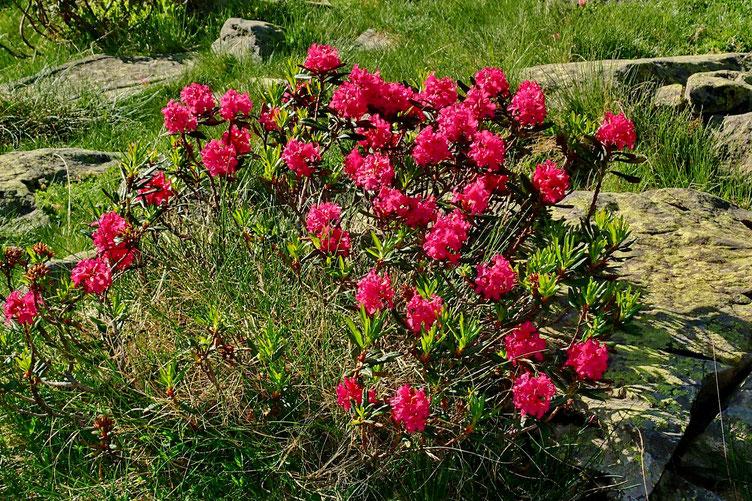 Où les rhododendrons sont en fleur.