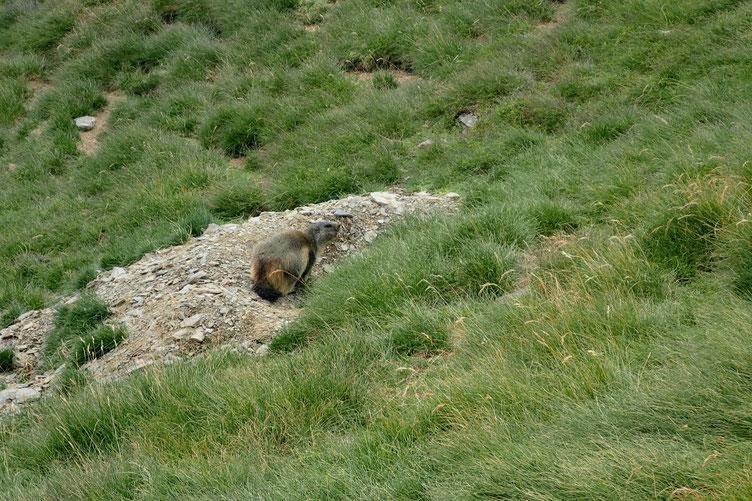 Quelques marmottes jouent à cache-cache...