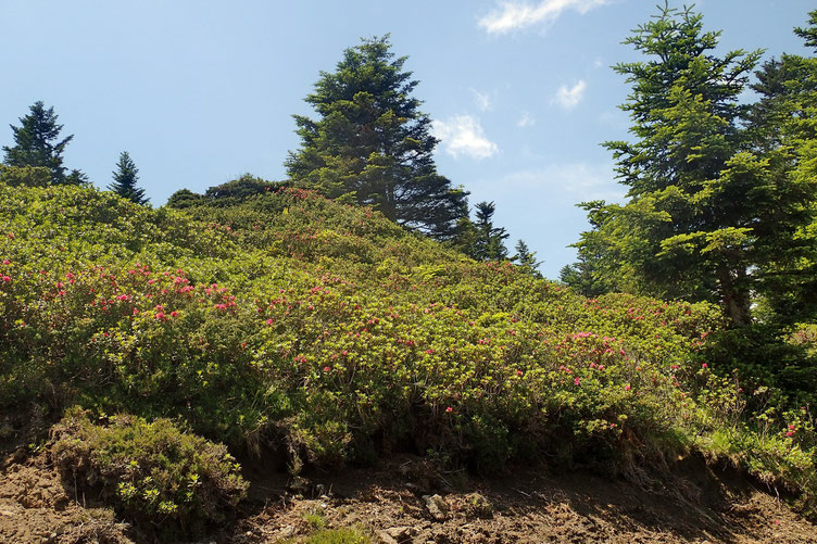 Les rhododendrons sont en fleurs!