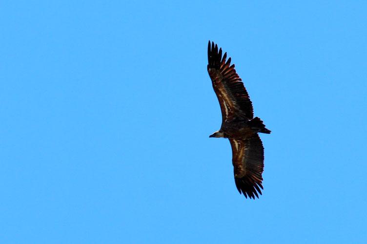Il y a toujours des rapaces. Ici un vautour.
