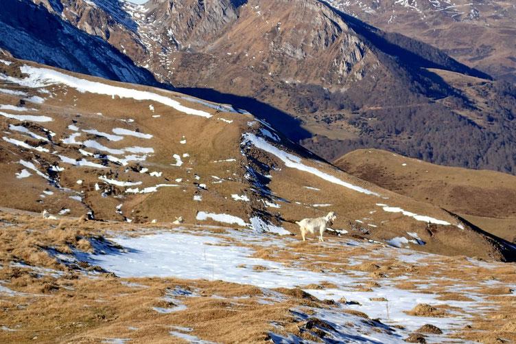 Une chèvre s'est levé.
